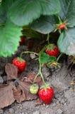 灌木天空草莓草莓 免版税库存图片