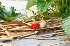 灌木天空草莓草莓 库存照片