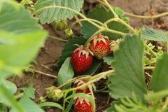 灌木天空草莓草莓 免版税库存照片