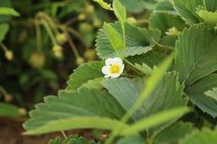 灌木天空草莓草莓 图库摄影