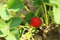 灌木天空草莓草莓 库存图片
