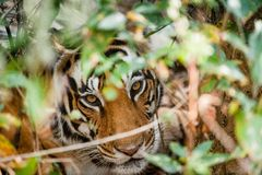 灌木女性直接地查找纵向老虎下 孟加拉(印地安)老虎豹属底格里斯河底格里斯河 印度 免版税库存照片