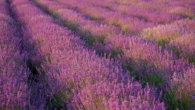 灌木开花的淡紫色 股票录像
