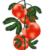 灌木成熟蕃茄 图库摄影