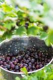 从灌木新近地采摘的黑鹅莓 库存照片