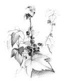 灌木无核小葡萄干草图 库存图片