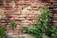 灌木有老砖墙背景 库存照片