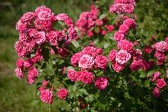 灌木桃红色玫瑰 库存图片