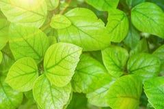 灌木植物的叶子背景的年轻绿色叶子 金黄阳光火光 唤醒复活节的自然 春天 免版税库存照片