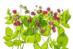 灌木概念莓 库存照片