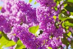 灌木淡紫色紫色 免版税图库摄影