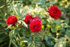 灌木玫瑰 库存照片