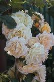 灌木玫瑰 库存图片