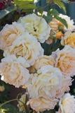 灌木玫瑰 免版税库存照片