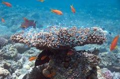 灌木珊瑚 库存图片
