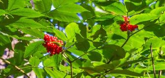灌木用在一个分支的红色森林莓果与绿色叶子 免版税库存照片