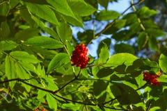 灌木用在一个分支的红色森林莓果与绿色叶子 免版税库存图片
