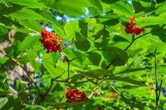 灌木用在一个分支的红色森林莓果与绿色叶子 库存照片