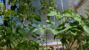 灌木用蕃茄自温室增长 股票视频