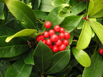 灌木白珠树 免版税库存照片