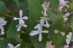 灌木白花  库存照片