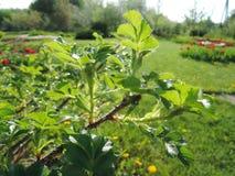 灌木的分支与叶子的 晴朗的果树园 免版税库存照片