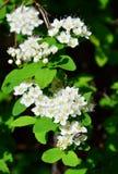灌木的开花的分支 开花白色 森林植物 红色和黑甲虫坐花 一只蜘蛛的阴影在gr的 库存图片