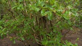 灌木的掀动在森林 股票视频