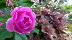 灌木的桃红色罗斯在庭院里 影视素材