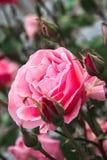 灌木的桃红色罗斯 库存照片
