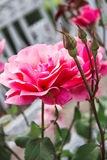 灌木的桃红色罗斯 免版税库存图片