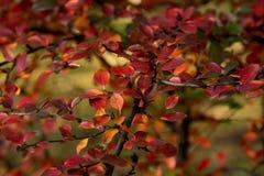 灌木的秋天颜色 免版税库存图片