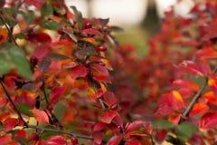 灌木的秋天颜色 免版税图库摄影