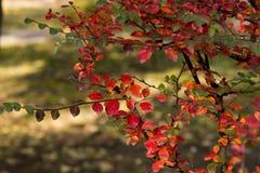 灌木的秋天颜色 库存图片
