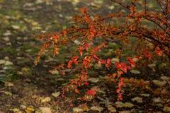 灌木的秋天颜色 图库摄影