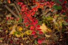 灌木的秋天颜色 库存照片
