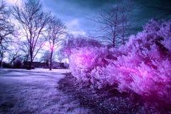 灌木的红外照片,与明亮的桃红色和紫色 免版税库存图片