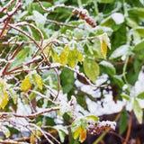 灌木的绿色和黄色叶子在第一雪下的 背景 焦点概念 免版税库存照片