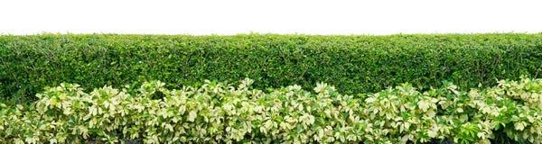 灌木篱芭 库存图片