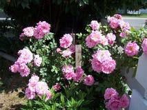 灌木粉红色上升了 库存图片