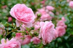灌木粉红色上升了 免版税库存图片