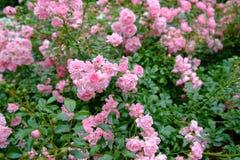灌木粉红色上升了 库存照片