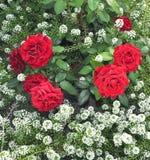 灌木红色玫瑰 免版税库存照片