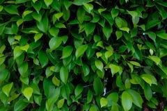 灌木绿色叶子 免版税库存图片