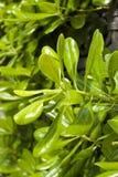 灌木绿色豪华的季节夏天 免版税图库摄影