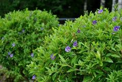 灌木绿色 图库摄影