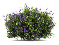 灌木花查出的淡紫色白色 免版税库存图片