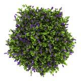 灌木花查出的淡紫色顶视图白色 免版税库存照片