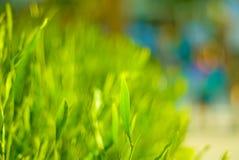 灌木茶 库存图片