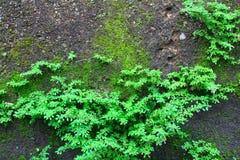 灌木蕨背景 免版税库存图片